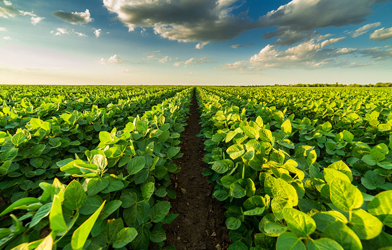 Soybean plants are the source of our Epoxidized Oil products.